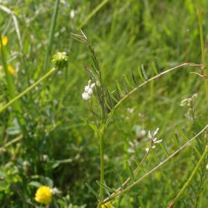Photographie n°2427546 du taxon Ervilia hirsuta (L.) Opiz
