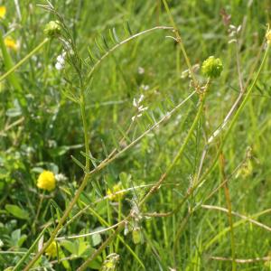 Photographie n°2427547 du taxon Ervilia hirsuta (L.) Opiz