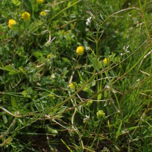 Photographie n°2427548 du taxon Ervilia hirsuta (L.) Opiz