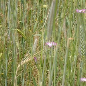 Photographie n°2427589 du taxon Agrostemma githago L.