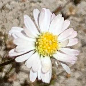 Photographie n°2428011 du taxon Bellis perennis L.