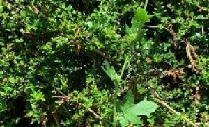 Photographie n°2428043 du taxon Bryonia dioica Jacq.