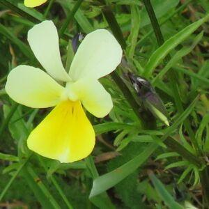 Photographie n°2428283 du taxon Viola arvensis Murray [1770]
