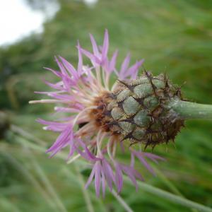 - Centaurea scabiosa L. [1753]