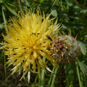 - Centaurea collina L. [1753]