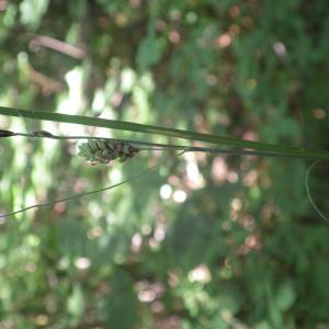 Photographie n°2428578 du taxon Carex flacca Schreb. [1771]