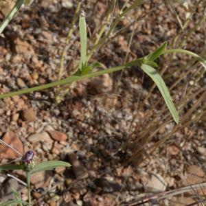 Photographie n°2429435 du taxon Centaurea diluta Aiton [1789]