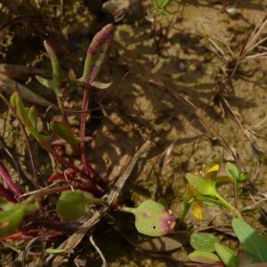 Photographie n°2429566 du taxon Hypericum humifusum L. [1753]