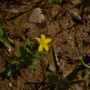 Photographie n°2429567 du taxon Hypericum humifusum L. [1753]