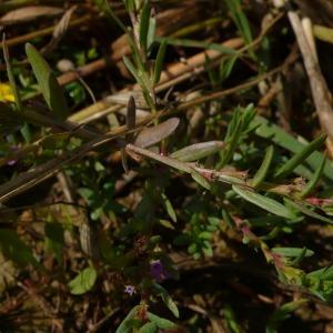 Photographie n°2429568 du taxon Hypericum humifusum L. [1753]