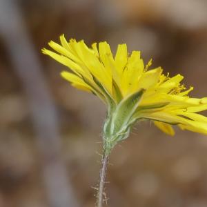 Photographie n°2429633 du taxon Crepis sancta subsp. nemausensis (Vill.) Babc.