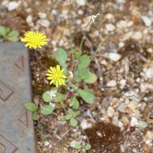 Photographie n°2429634 du taxon Crepis sancta subsp. nemausensis (Vill.) Babc.
