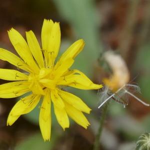Photographie n°2429635 du taxon Crepis sancta subsp. nemausensis (Vill.) Babc.