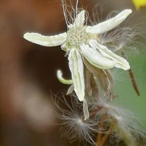 Photographie n°2429636 du taxon Crepis sancta subsp. nemausensis (Vill.) Babc.