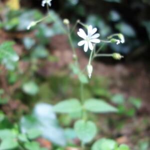 Photographie n°2429870 du taxon Stellaria nemorum subsp. montana (Pierrat) Berher [1887]