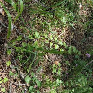 - Dactylorhiza elata (Poir.) Soó [1962]