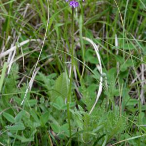 Photographie n°2430249 du taxon Dactylorhiza fuchsii (Druce) Soó