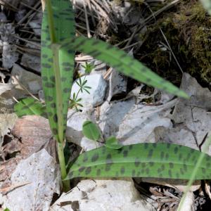 Photographie n°2430403 du taxon Dactylorhiza fuchsii (Druce) Soó
