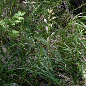 Photographie n°2430419 du taxon Cephalanthera damasonium (Mill.) Druce [1906]