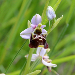 Photographie n°2430479 du taxon Ophrys fuciflora (F.W.Schmidt) Moench