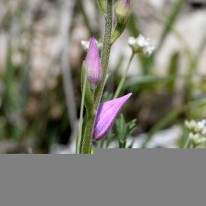 Photographie n°2430493 du taxon Cephalanthera rubra (L.) Rich. [1817]