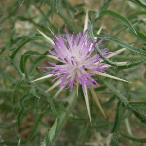 Photographie n°2430500 du taxon Centaurea calcitrapa L.