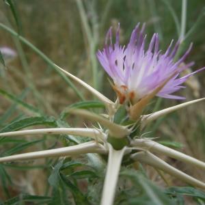 Photographie n°2430501 du taxon Centaurea calcitrapa L.