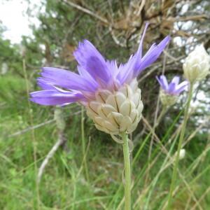 Catananche caerulea L. (Catananche bleue)