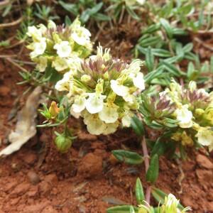 Teucrium montanum L. (Germandrée des montagnes)