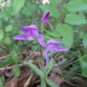 Photographie n°2431235 du taxon Cephalanthera rubra (L.) Rich.
