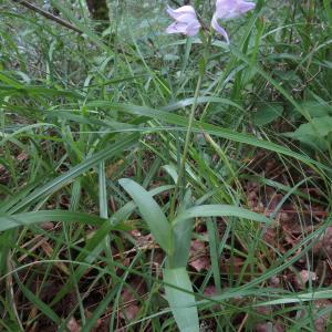 Photographie n°2431241 du taxon Cephalanthera rubra (L.) Rich.