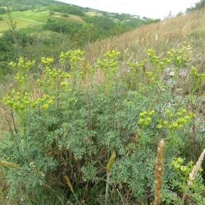 Photographie n°2431256 du taxon Ruta graveolens L.