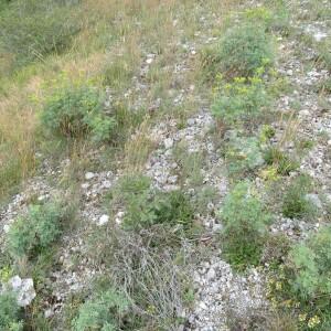 Photographie n°2431258 du taxon Ruta graveolens L.