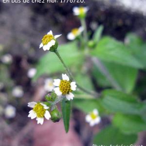 Photographie n°2431458 du taxon Galinsoga quadriradiata Ruiz & Pav. [1798]