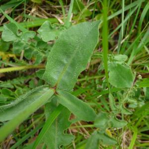 Photographie n°2431492 du taxon Urospermum dalechampii (L.) Scop. ex F.W.Schmidt [1795]