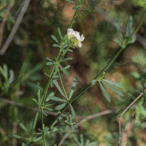 - Lotus dorycnium L. [1753]