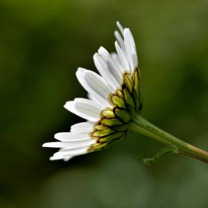 Photographie n°2431719 du taxon Leucanthemum vulgare Lam. [1779]