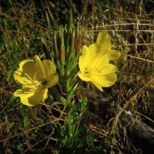 Photographie n°2432021 du taxon Oenothera biennis L.
