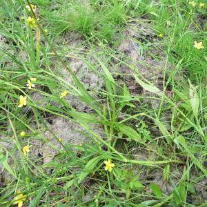 Photographie n°2432193 du taxon Ranunculus flammula L.