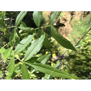 Fraxinus angustifolia Vahl subsp. angustifolia (Frêne à feuilles étroites)