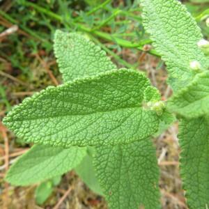 - Teucrium scorodonia L.