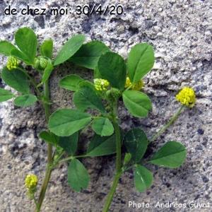 - Trifolium campestre var. campestre