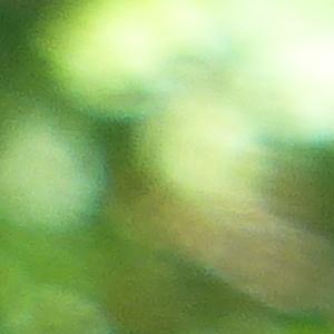 Photographie n°2432535 du taxon Cytisus scoparius (L.) Link [1822]