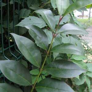 Photographie n°2432939 du taxon Ligustrum vulgare L. [1753]