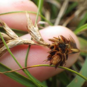 - Carex arenaria L. [1753]