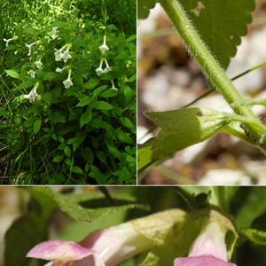 - Melittis melissophyllum subsp. melissophyllum