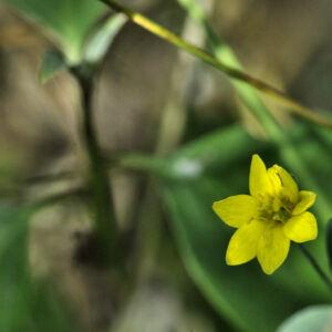 - Blackstonia acuminata (W.D.J.Koch & Ziz) Domin [1933]
