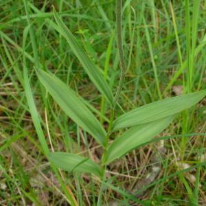 Photographie n°2433830 du taxon Cephalanthera rubra (L.) Rich. [1817]