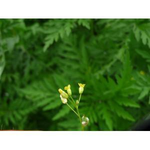 Camelina sativa (L.) Crantz var. sativa (Caméline cultivée)