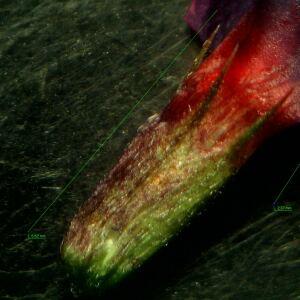 Photographie n°2433899 du taxon Vicia angustifolia L. [1759]